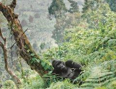 Berggorilla_Uganda.jpg