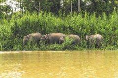Borneo_Zwergelefanten.jpg