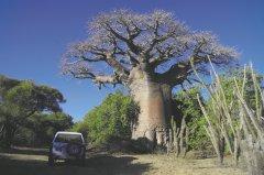 Madagaskar_BaobabBaum.jpg