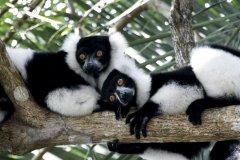Madagaskar_Lemuren.jpg