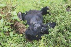 Ruanda_Gorilla.jpg