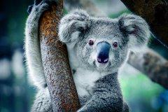 Koala_BestOfTravelGroup.jpg