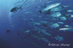 Fischschwrme_Queensland.jpg