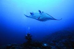 Mantarochen_Fiji_PhotoCredit_TourismFiji.jpg