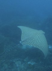 OrnateEagleRay_10Apr2020_LadyElliotIsland_PhotoCredit_JacintaShackleton.jpg