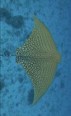OrnateEagleRay_13Apr2020_LadyElliotIsland_PhotoCredit_JacintaShackleton.jpg