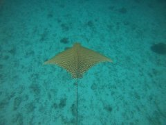 OrnateEagleRay_25Mar2020_LadyElliotIsland_PhotoCredit_JacintaShackleton.jpg