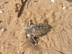 Flatback_Baby_Turtle_PhotoCredit_QueenslandTrustForNature.jpg