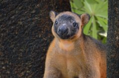 Quinton_TreeKangaroo_WildlifeHabitat.jpg