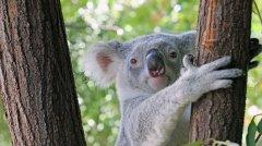 Tia_Koala_WildlifeHabitat.jpg