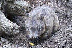 Wombat_PhotoCredit_CurrumbinWildlifeSanctuary.jpg