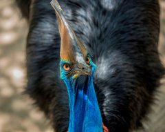 Cassowary1_PhotoCredit_WildlifeHabitat.jpg