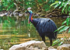 Cassowary3_PhotoCredit_TropicalJourneys.jpg