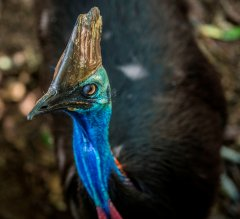 Cassowary4_PhotoCredit_WildlifeHabitat.jpg