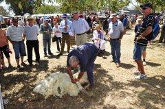 SheepShearing_AustralianCampOvenFestival.JPG