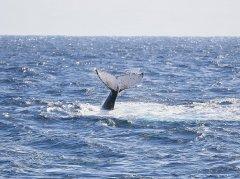 YalingbilaTours_Whale2.jpg