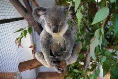 KoalaMum_Calypso_KoalaJoey_Kudos_PhotoCredit_CooberrieParkWildlifeSanctuary.jpg