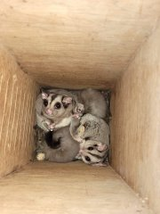 Family_MahoganyGlider_WildlifeHabitat2.jpg