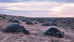 TurtlesNesting_RaineIsland_PhotoCredit_ChristianMiller.jpg