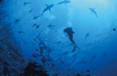 Sharks_OspreyReef.jpg