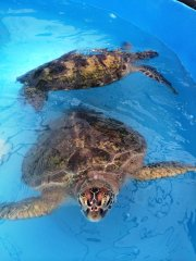 TurtleRehabCentre_FitzroyIsland.jpg